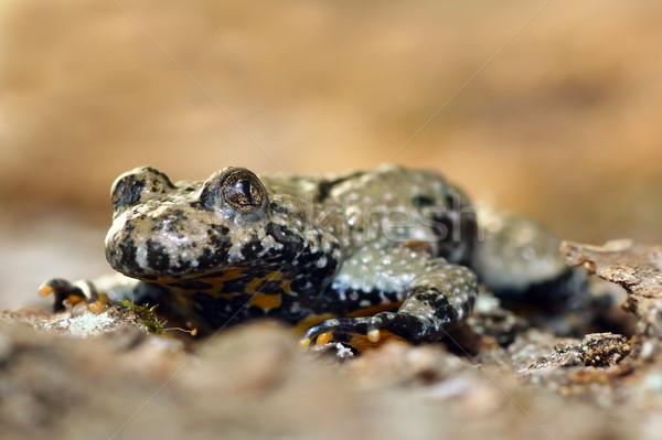 マクロ 画像 黄色 ヒキガエル 自然 庭園 ストックフォト © taviphoto