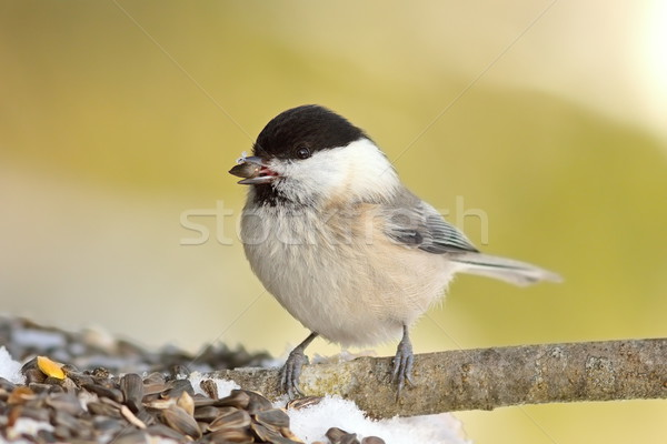 coal tit perched of twig Stock photo © taviphoto