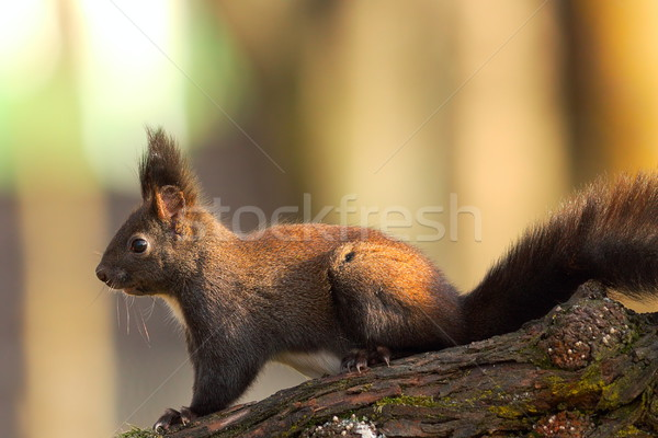 squirrel in the park Stock photo © taviphoto