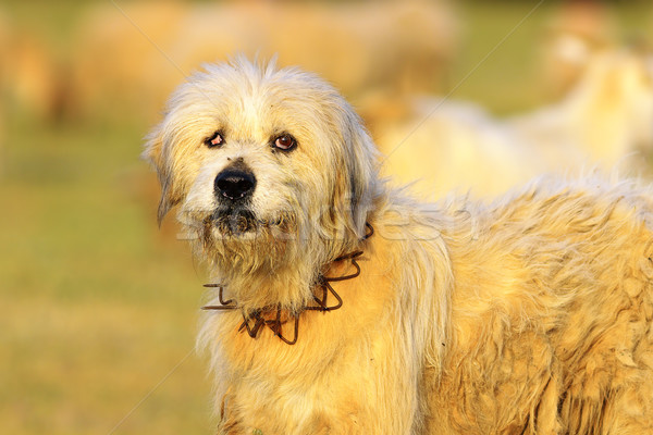 angry sheep dog Stock photo © taviphoto