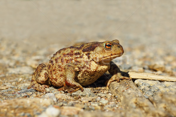 common toad on gravel Stock photo © taviphoto