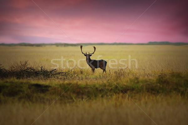 fallow deer on meadow at dawn Stock photo © taviphoto