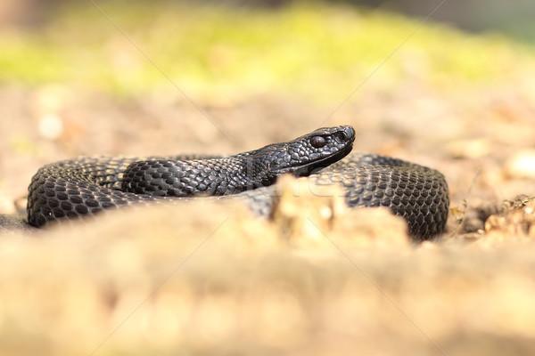nikolskii viper basking on forest ground Stock photo © taviphoto