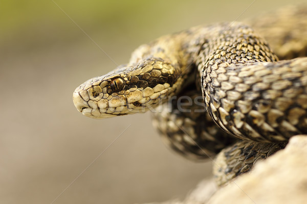 portrait of meadow viper in natural habitat Stock photo © taviphoto