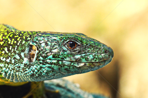 Vert lézard coloré Homme macro portrait Photo stock © taviphoto
