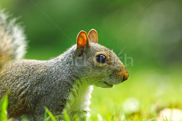 grey squirrel portrait on lawn Stock photo © taviphoto
