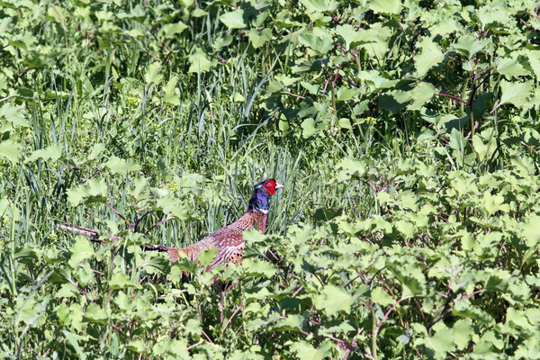 beautiful male pheasant hiding in grass Stock photo © taviphoto