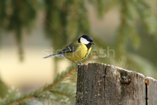 Stock photo: great tit perched on a stump feeder