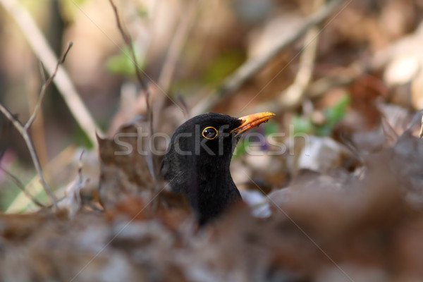 male common blackbird hiding Stock photo © taviphoto