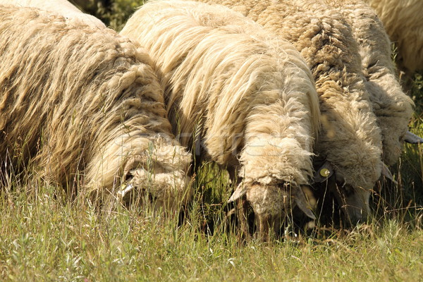 flock of sheep grazing on meadow Stock photo © taviphoto
