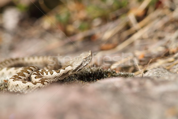 european horned viper Stock photo © taviphoto
