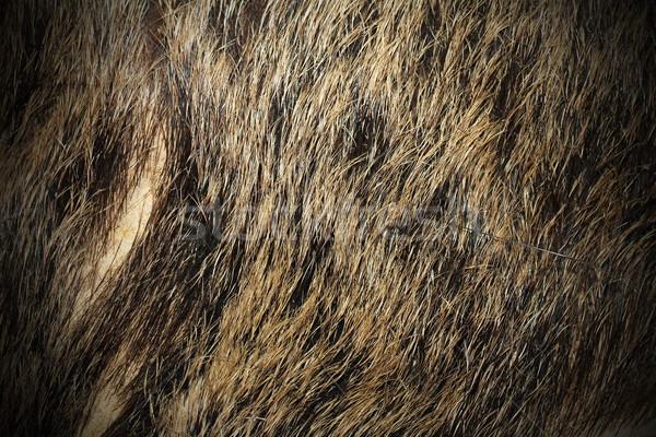 beautiful texture of wild boar fur Stock photo © taviphoto