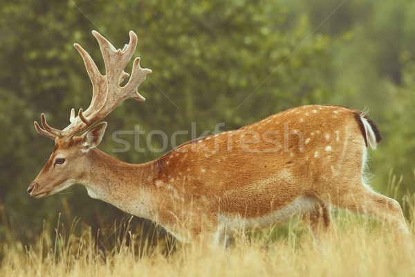 fallow deer passing a glade Stock photo © taviphoto