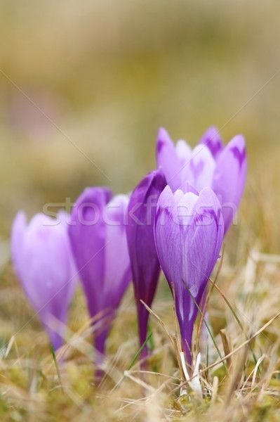 wild crocuses in spring Stock photo © taviphoto