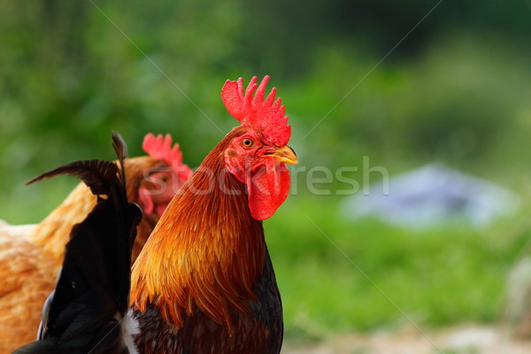 portrait of colorful rooster at the farm Stock photo © taviphoto