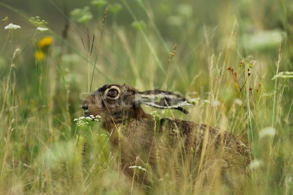 заяц сокрытие большой трава рассвета Сток-фото © taviphoto