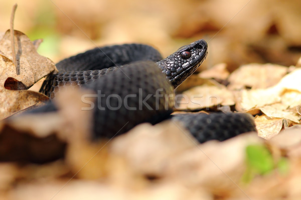 black european viper Stock photo © taviphoto