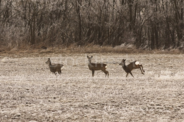 roe deers in late autumn morning Stock photo © taviphoto