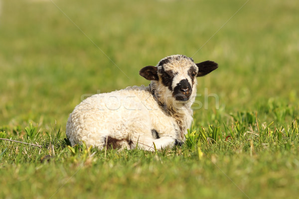 cute mottled lamb Stock photo © taviphoto