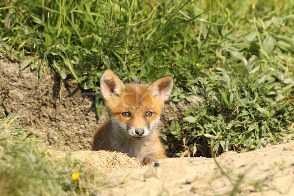 Aranyos róka medvebocs bejárat piros portré Stock fotó © taviphoto