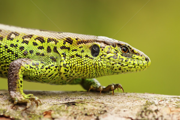 close up of male sand lizard Stock photo © taviphoto