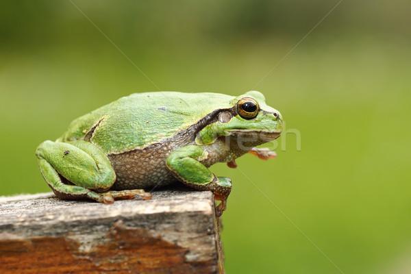 Káprázatos európai levelibéka áll fa zöld Stock fotó © taviphoto