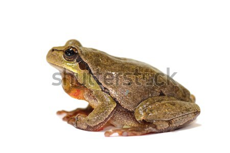 full length green tree frog on white background Stock photo © taviphoto
