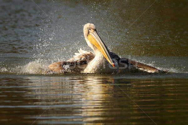 juvenile pelican splashing water Stock photo © taviphoto