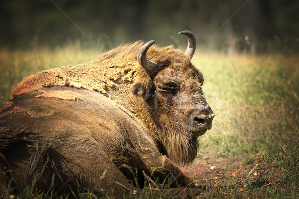 large european bison resting on ground Stock photo © taviphoto