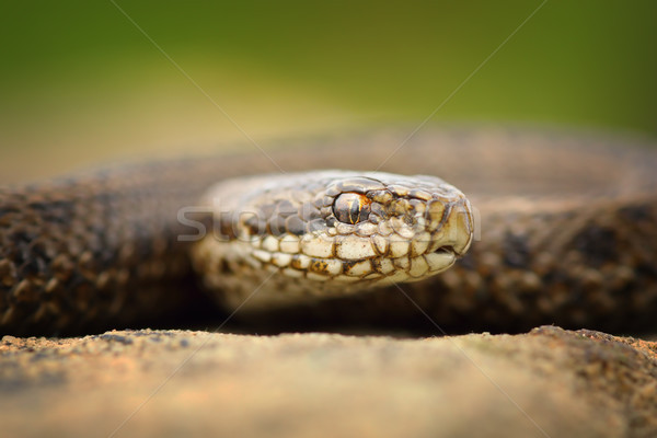 macro portrait of juvenile meadow adder Stock photo © taviphoto