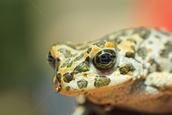 portrait of cute european green toad Stock photo © taviphoto