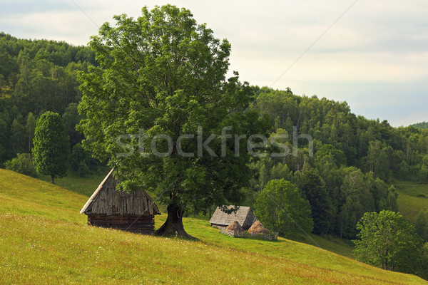 ルーマニア語 山 草原 季節の 牛 人 ストックフォト © taviphoto
