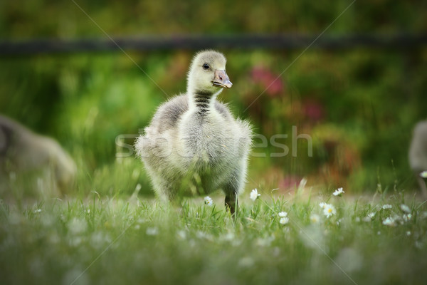 cute gosling on lawn Stock photo © taviphoto