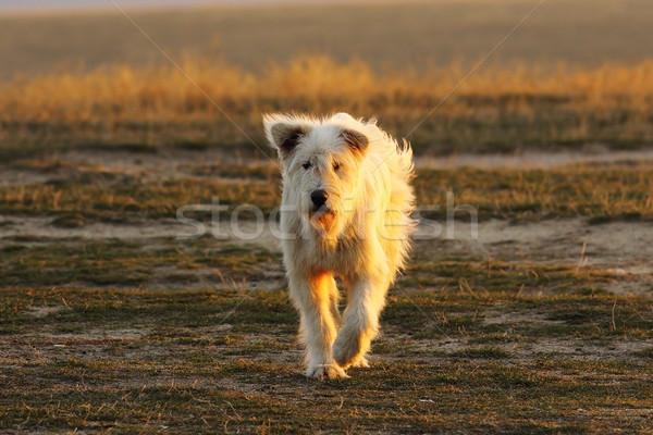 shepherd dog approaching the camera Stock photo © taviphoto