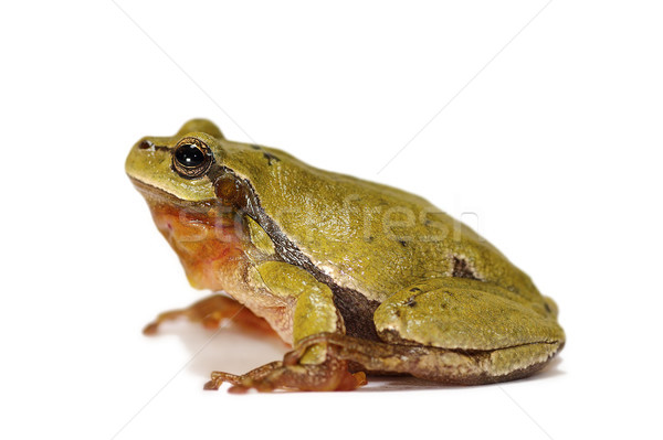 studio shot of european tree frog Stock photo © taviphoto