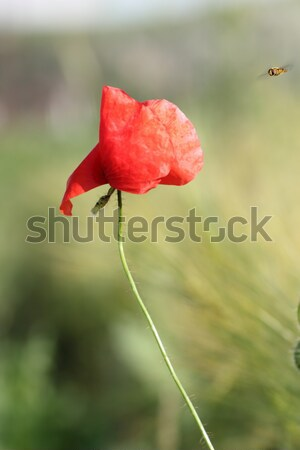 red poppy blown by the wind Stock photo © taviphoto
