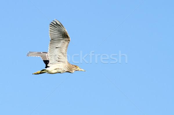 несовершеннолетний ночь цапля полет Blue Sky птица Сток-фото © taviphoto