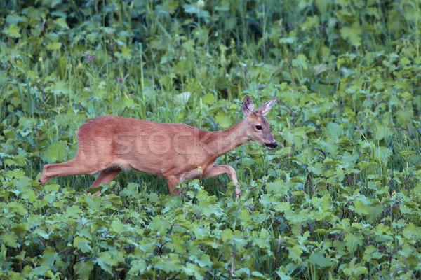 Ikra szarvas sétál nyugalmas szépség nyár Stock fotó © taviphoto