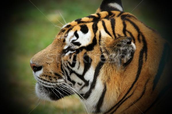 beautiful tiger head Stock photo © taviphoto