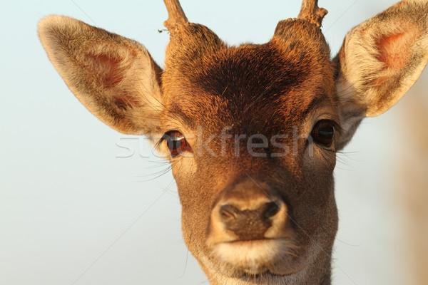 面白い 肖像 鹿 バック 顔 小さな ストックフォト © taviphoto