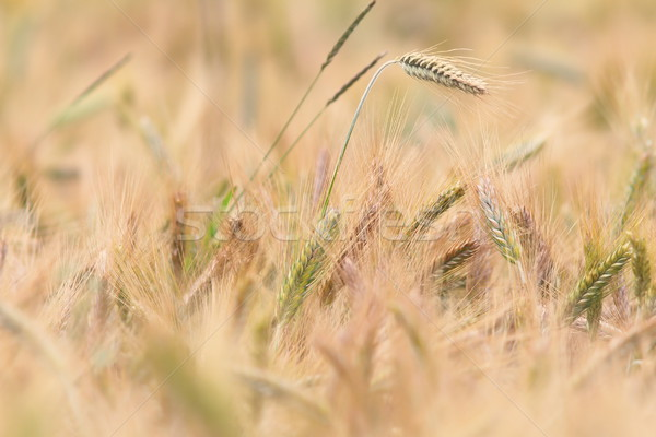 Búzamező részlet citromsárga kép nyár évszak Stock fotó © taviphoto