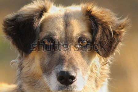 Psa portret cute twarz głowie zwierząt Zdjęcia stock © taviphoto
