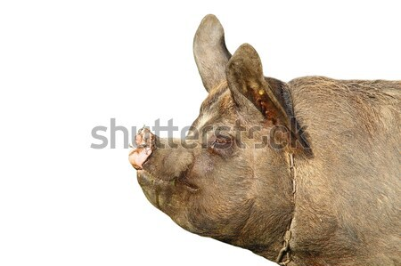 isolated portrait of a pig Stock photo © taviphoto