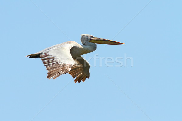 dalmatian pelican in fligh Stock photo © taviphoto