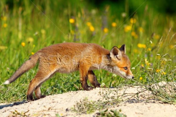 Bonitinho jovem raposa família primavera Foto stock © taviphoto