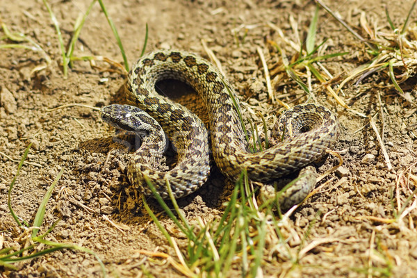 Homme prairie naturelles habitat nature serpent Photo stock © taviphoto