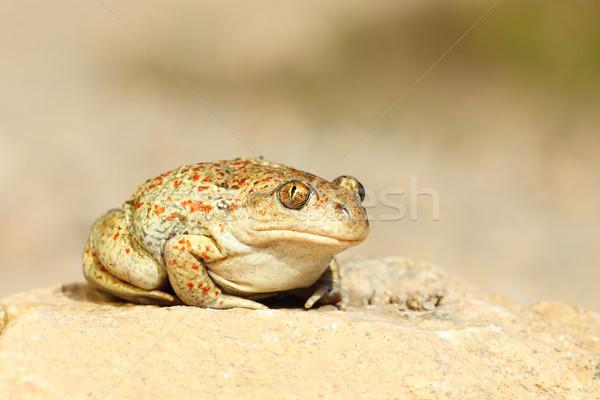 かわいい ニンニク ヒキガエル 立って 地上 自然 ストックフォト © taviphoto