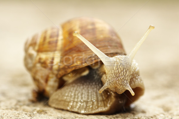 garden common snail closeup Stock photo © taviphoto