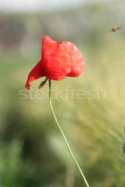 red poppy and a bee Stock photo © taviphoto