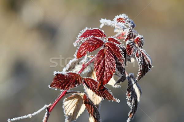 Framboos bladeren gedekt rijm wild winter Stockfoto © taviphoto
